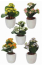 Pure royal Kalanchoe in pot (Diverse kleuren mogelijk)
